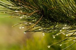 pine-needles-1110338_960_720