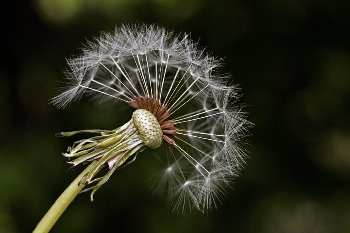 milkweed-561041_960_720