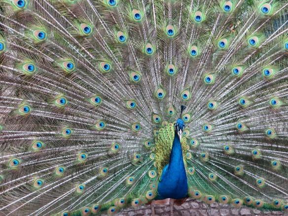 peacock-414391_960_720