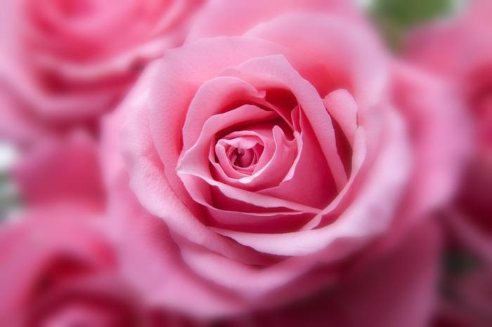 roses-194110_960_720