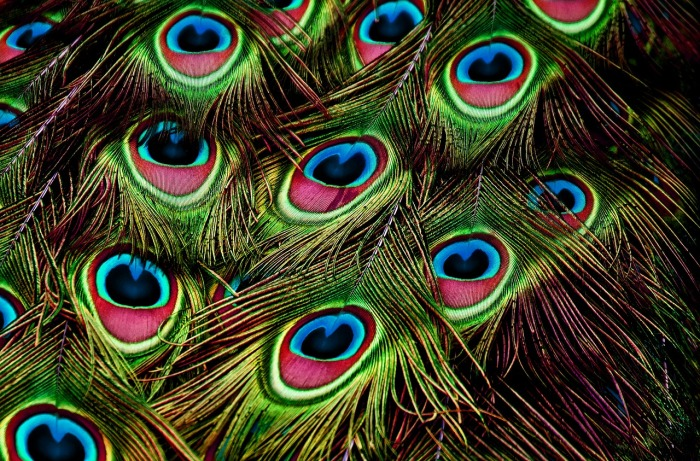 peacock-feathers-3617474_1280